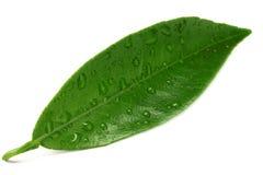 Folhas do citrino isoladas no fundo branco imagem de stock