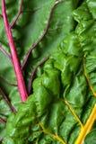 Folhas do close-up da acelga da salada da beterraba de forragem Imagem de fundo Foto de Stock