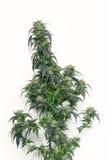 Folhas do close up do cânhamo imagem de stock