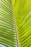 Folhas do coco Imagens de Stock Royalty Free