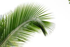 Folhas do coco fotografia de stock