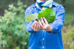 Folhas do coltsfoot da colheita da menina para secar Foto de Stock