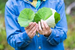 Folhas do coltsfoot da colheita da menina para secar Fotografia de Stock Royalty Free