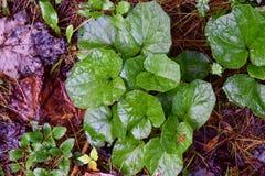 Folhas do Coltsfoot em um assoalho da floresta Imagem de Stock