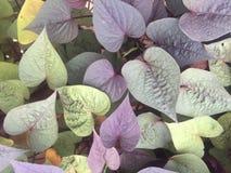 Folhas do coração roxo Imagens de Stock