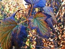 Folhas do corinto Foto de Stock