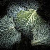 Folhas do couve-de-milão Fotografia de Stock Royalty Free