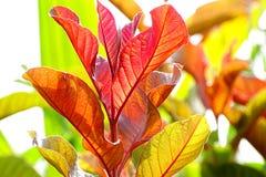 Folhas do Croton Fotos de Stock