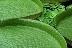 Folhas do cruziana de Victoria imagens de stock