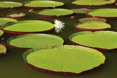 Folhas do cruziana de Victoria que flutuam na lagoa imagem de stock