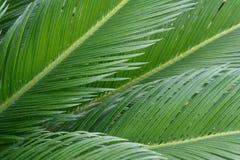 Folhas do Cycas Imagens de Stock
