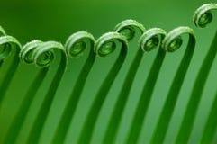 Folhas do Cycas Fotografia de Stock