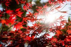 Folhas do dia ensolarado e do vermelho da mola em uma árvore fotos de stock