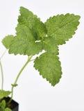 Folhas do erva-cidreira Imagem de Stock Royalty Free