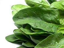 Folhas do espinafre isoladas no branco Imagens de Stock