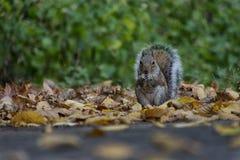 Folhas do esquilo e do outono imagens de stock