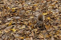 Folhas do esquilo e do outono fotos de stock royalty free