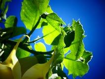 Folhas do estramônio contra um céu azul Fotos de Stock