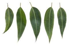 Folhas do eucalipto isoladas no branco Foto de Stock