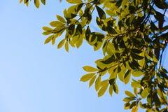 Folhas do evergreen imagens de stock