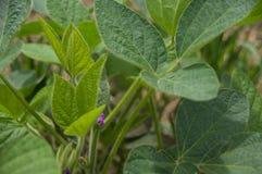 Folhas do feijão de soja Fotografia de Stock