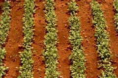 Folhas do feno-grego Fotos de Stock