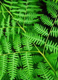 Folhas do Fern fotografia de stock