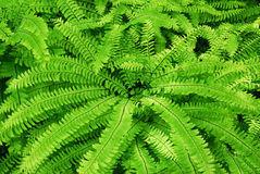 Folhas do Fern Foto de Stock