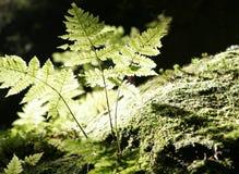 Folhas do Fern Foto de Stock