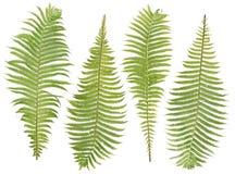 Folhas do Fern ajustadas Imagem de Stock Royalty Free