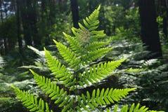 Folhas do fern - Dryopteris filix-máximo. Fotos de Stock