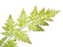 Folhas do Fern isoladas Imagem de Stock