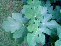 Folhas do figo Fotografia de Stock