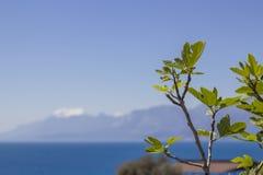 Folhas do figo Foto de Stock