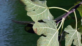 Folhas do figo na água azul filme