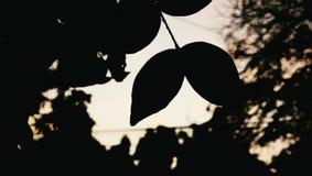 Folhas do gêmeo na noite Fotos de Stock Royalty Free