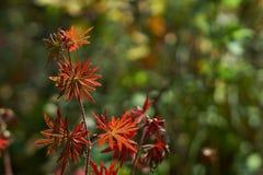 Folhas do gerânio do prado na floresta Imagens de Stock
