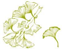 Folhas do Gingko ilustração royalty free
