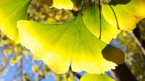 Folhas do Ginkgo Fotos de Stock
