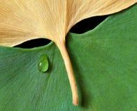 Folhas do Ginkgo no formulário da máscara imagens de stock royalty free