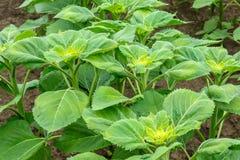 Folhas do girassol Foto de Stock