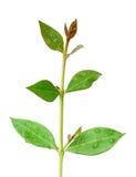 Folhas do Henna fotografia de stock