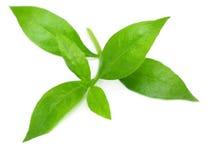 Folhas do Henna imagens de stock