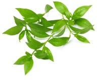 Folhas do Henna imagens de stock royalty free