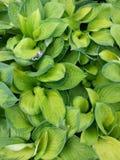 Folhas do Hosta Imagem de Stock