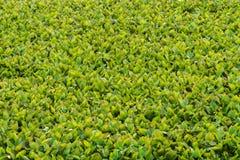 Folhas do jacinto no lago Fotos de Stock