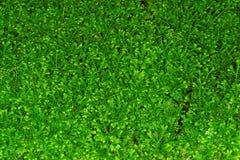 Folhas do kraussiana do Selaginella fotografia de stock
