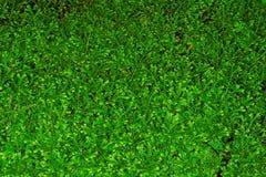 Folhas do kraussiana do Selaginella imagem de stock