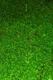 Folhas do kraussiana do Selaginella fotografia de stock royalty free