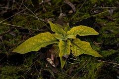 Folhas do lanceolata L do Plantago No outono imagens de stock royalty free